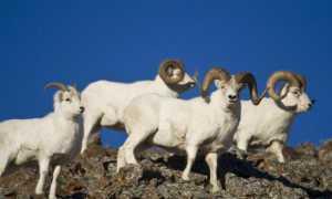 Архар — исчезающий горный баран