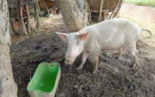 Как проявляется африканская чума свиней