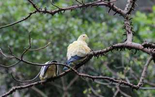 Описание голубей породы Кинг