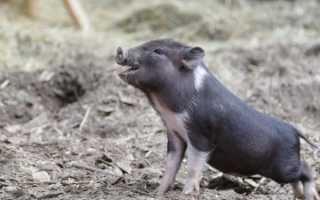 Декоративная карликовая свинья мини-пиги
