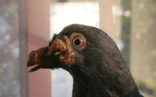 Выявление и лечение оспы у голубей
