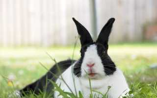 Порода кроликов голландская: фото и описание