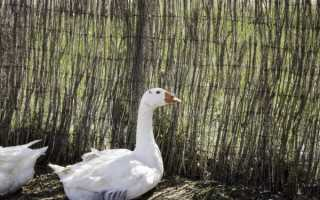 Описание породы Итальянские гуси