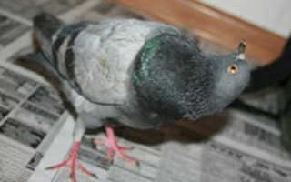 Болезни голубей и методы их лечения