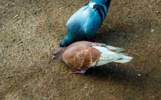Болезнь Ньюкасла у голубей