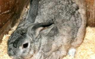 Причины грыжи у кролика