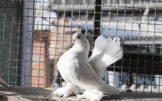 Характеристика голубей породы Касаны