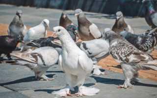 Характеристика Благодарненских голубей