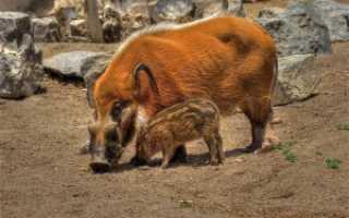 Кистеухая свинья, характеристика и описание породы