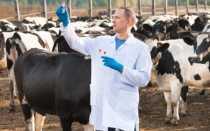 Лечение шишек на теле коровы