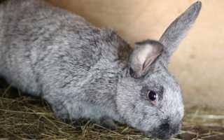 Кролики породы серебро