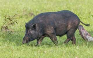 Как лечить гастроэнтерит у свиньи