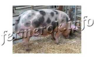 Описание свиней породы Пьетрен