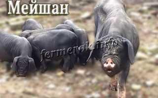Мейшан, порода свиней: фото, описание, характеристика