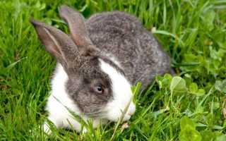 Причины пододерматита у кроликов