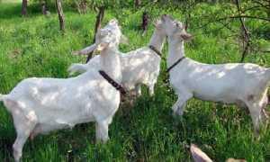 Зааненская порода коз: фото, описание, характеристика