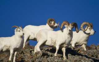 Описание горного барана муфлона