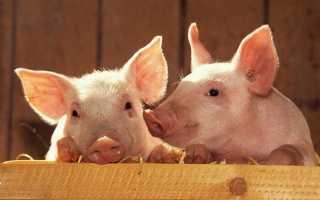 Правила выращивания свиней