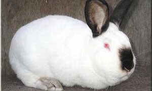 Выращивание калифорнийских кроликов: порода, фото