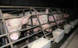 Организация бизнес-плана мини-свинофермы