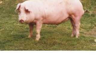 Беконная порода свиней Ландрас