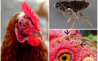 Опасность куриных блох