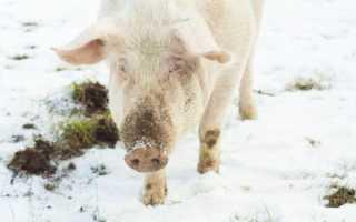 Как зимой кормить и содержать фермерских поросят