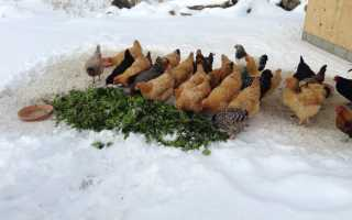 Чем кормить курей в зимний период для яйценоскости