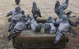 Правильное лечение орнитоза у голубей