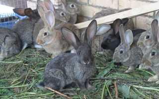 Описание кролей породы Великан