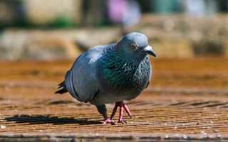 Применение Родотиума для голубей