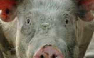 Причины саркоптоза свиней