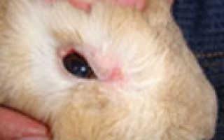 Как лечить конъюнктивит у кролей в домашних условиях