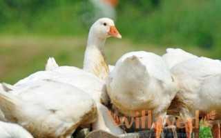 Причины того, почему гусята щипают перья друг у друга