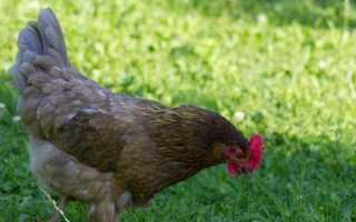 Особенности Ленинградской породы кур