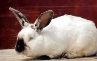 Описание породы Калифорнийский кролик