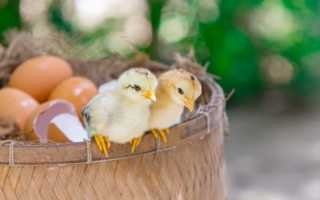 Сколько гусыня сидит на яйцах и почему она этого не делает