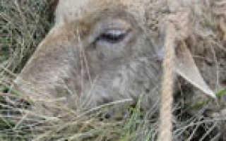 Причины брадзота у овец