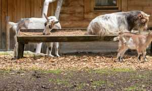 Описание породы альпийские козы