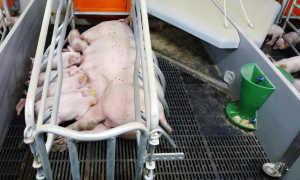 Изготовление станка для свиноматки