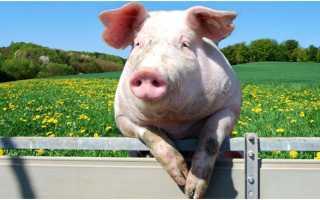 Случка свиней и правила ее проведения