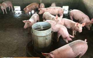 Дозировка кормовых дрожжей для свиней