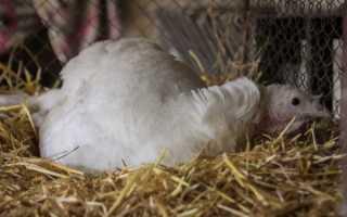 Устройство гнезда для индюшки