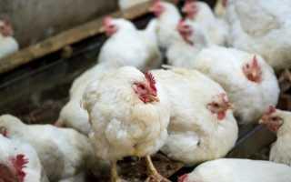 Лечение инфекционного бронхита у кур