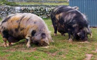 Самые распростраенные породы свиней
