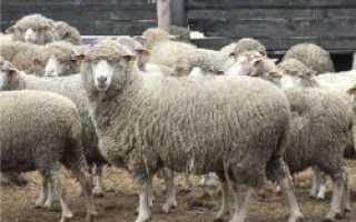 Характеристика овец породы Прекос