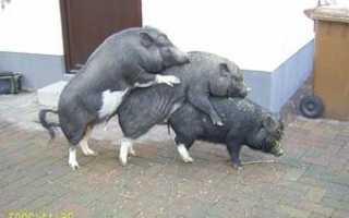 Специфика процедуры спаривания свиней