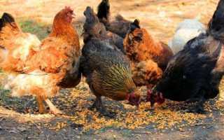 Описание мясных пород голубей
