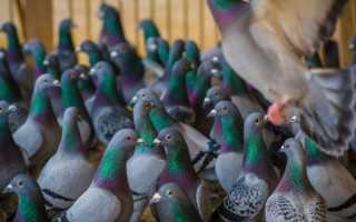 Инструкция по применению Виросальма для голубей