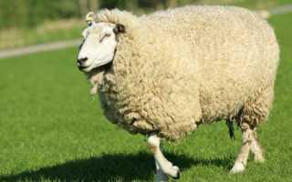 Куйбышевская порода овец описание вида